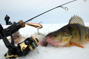 04-american-perch-is-very-simillar-to-ours
