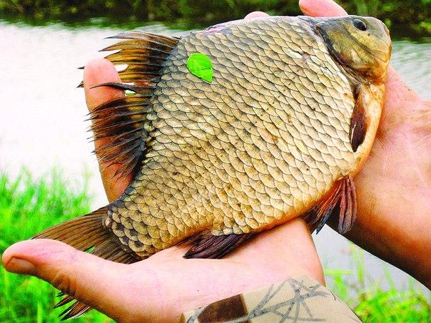 рыбалка как жизнь карась